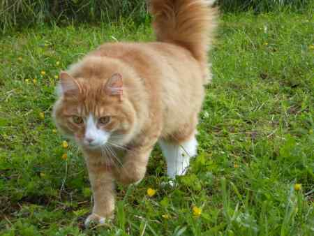 Missing Maine Coon Cats in Kirkmichael