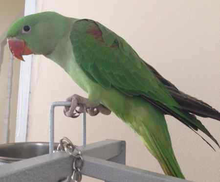 Missing Parrot, Parakeet Birds in Walthamstow