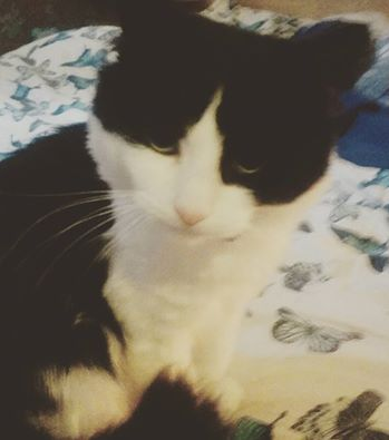 Lost Domestic Short Hair Cat in Wombourne