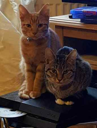 Missing Domestic Short Hair Cats in Milton Keynes