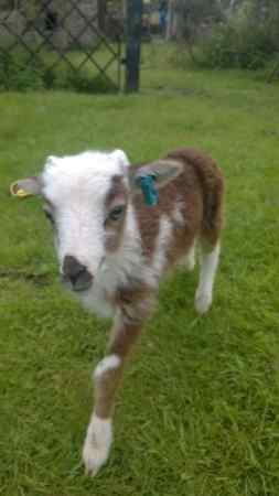 Missing Sheep Exotic in Winmarleigh