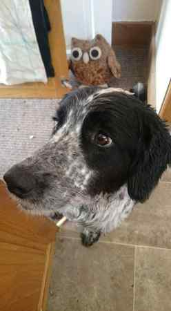 Missing Spaniel Dogs in Chard