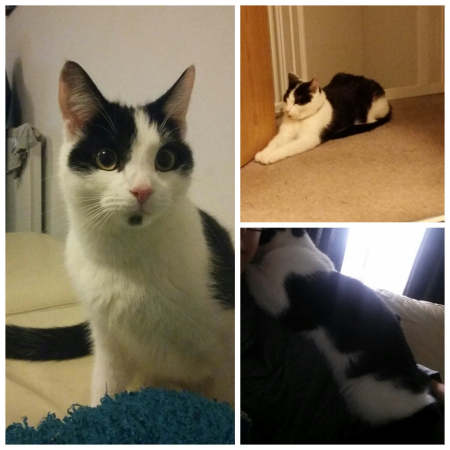 Missing Domestic Short Hair Cats in Slough