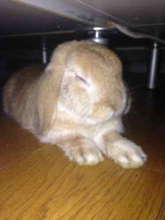 Missing Lop Eared Rabbit in St Albans