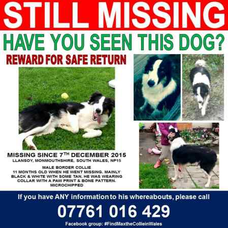 Missing Collie Dogs in Llansoy