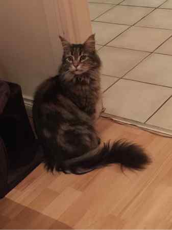 Missing Maine Coon Cats in Hamilton