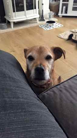 Missing Cross Mixed Dog in Llanharry