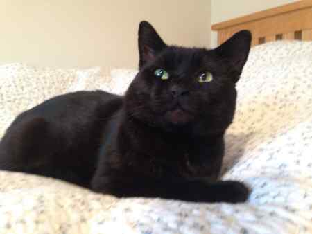 Missing Domestic Short Hair Cats in Bury St Edmunds