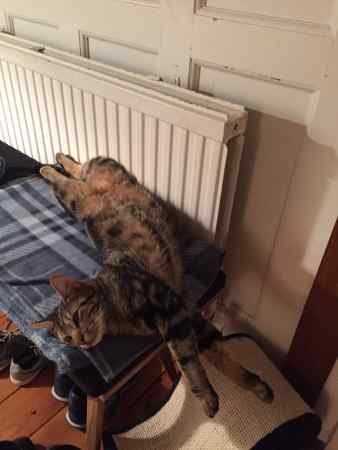Missing Tabby Cat in Hour