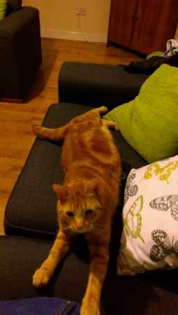 Missing Domestic Short Hair Cats in Newport Pagnell