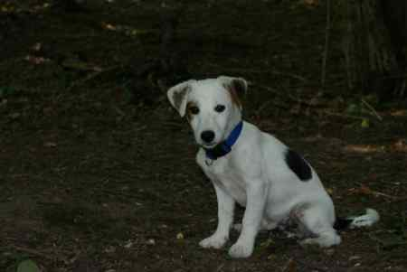 Lost Jack Russell Dog in Bere Regis