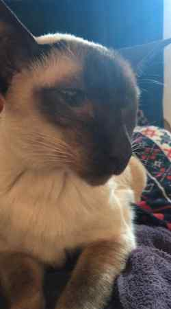 Missing Siamese Cat in Dundee