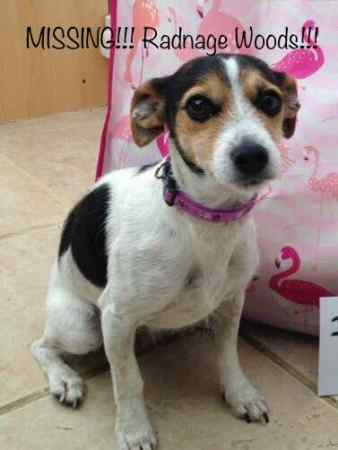 Missing Jack Russell Dog in Radnage
