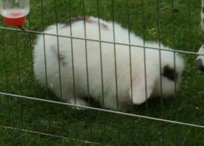 Missing Lop Eared Rabbit in Norton Lees, Sheffield