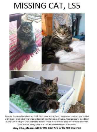 Missing Norwegian Forest Cats in Leeds