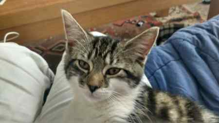 Missing Tabby Cat in Cardiff