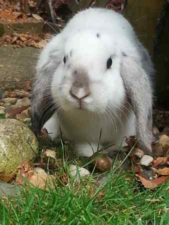 Missing Lop Eared Rabbit in Ashford