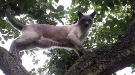 Missing Siamese Cat in Earith