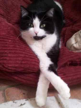 Missing Domestic Short Hair Cats in Reigate