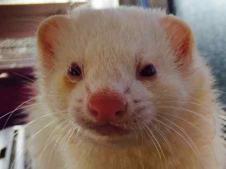 Missing Unknown - Other Ferrets in Folkestone