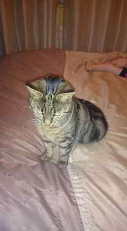 Missing Tabby Cat in Offerton