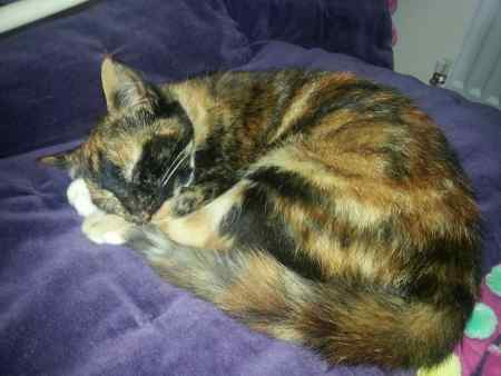 Lost Tortoiseshell Cat in Teignmouth