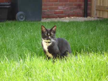 Missing Domestic Short Hair Cat in Shrewsbury