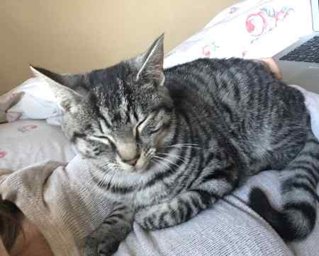 Lost Tabby Cat in Colchester