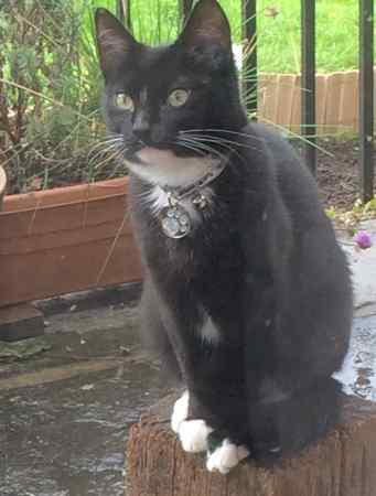 Lost Domestic Short Hair Cat in Southwick, Trowbridge