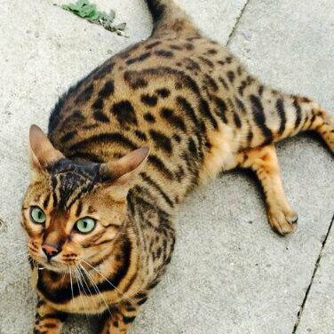 Missing Bengal Cat in Manchester