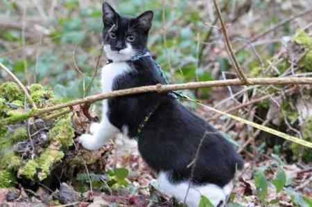 Missing Manx Cat in Bedford