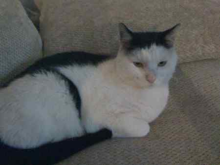 Missing Domestic Short Hair Cat in Beighton Sheffield