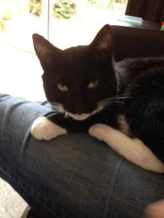 Lost Domestic Short Hair Cat in Winnersh
