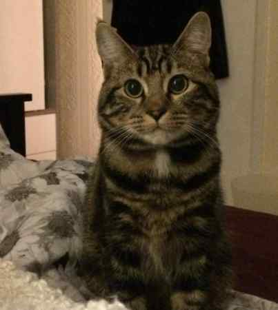 Missing Tabby Cat in Dinas Powys