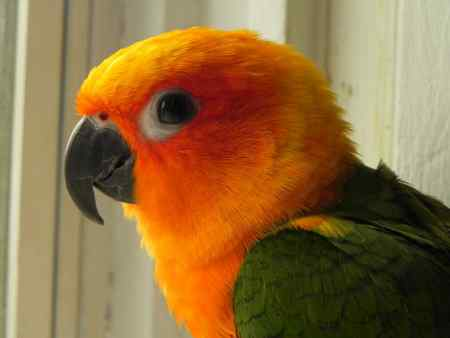 Missing Parrot, Parakeet Birds in Dover