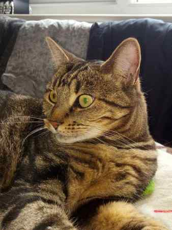 Missing Tabby Cat in Hartlepool