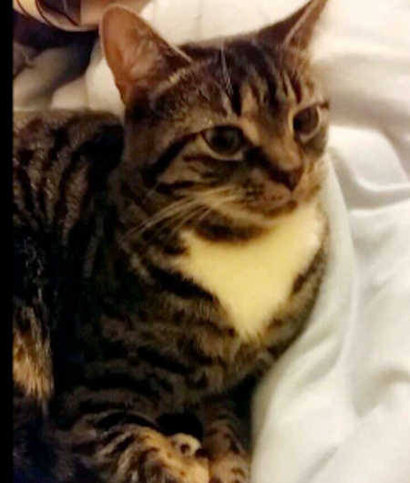 Missing Tabby Cat in Seymour Grove