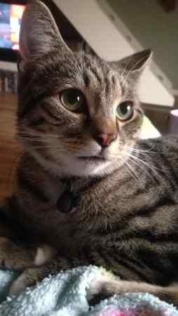 Missing Tabby Cat in Beaumont Leys