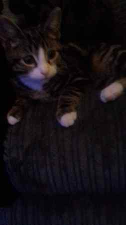 Missing Tabby Cat in Stalybridge/Dukinfield
