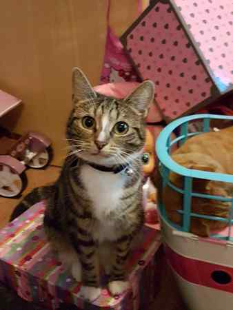 Missing Tabby Cat in TONYPANDY