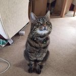 Missing Tabby Cat in Coxhoe