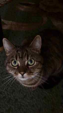 Missing Tabby Cat in Stechford