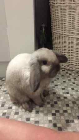 Missing Lop Eared Rabbit in Stockton On Tees