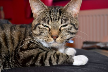 Missing Tabby Cat in Bude