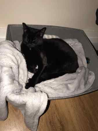 Missing Domestic Short Hair Cats in Streatham