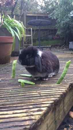 Missing Lop Eared Rabbits in Sydenham