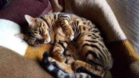 Lost Bengal Cat in Lingfield