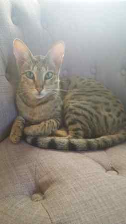Missing Savannah Cats in Coopers Edge, Gloucester