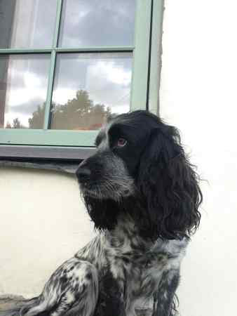 Missing Spaniel Dogs in Malltraeth, Bodorgan