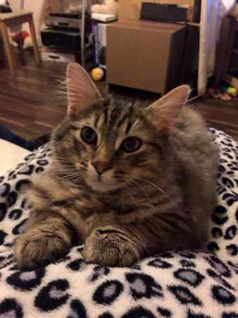 Missing Maine Coon Cats in Coalville